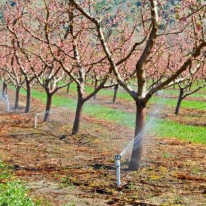 peach orchard irrgation